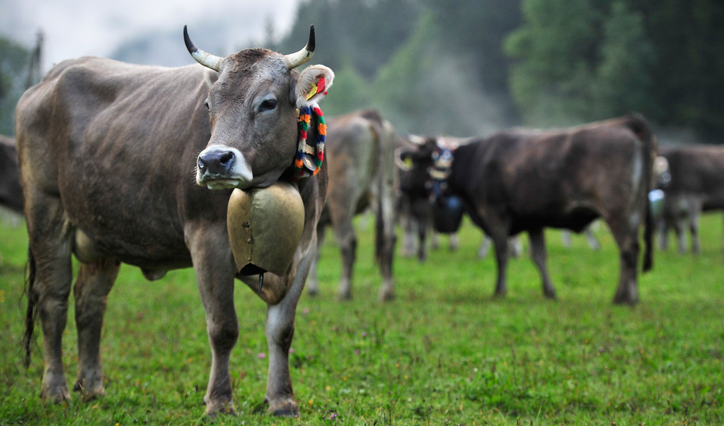 . Cows are pictured during the annual Viehscheid cattle drive on September 11, 2013 near Bad Hindelang, Germany.  (Photo by Lennart Preiss/Getty Images)