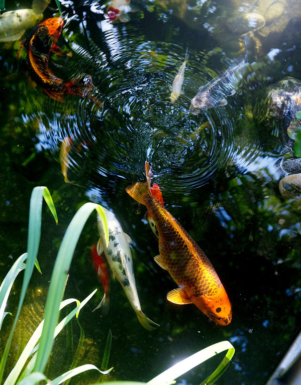. The tail fin of one of the Peters-Combs\' many koi tickles the surface of one of the family\'s three ponds. Becky Peters-Combs gets the koi when they\'re very small and inexpensive. (Cyrus McCrimmon, The Denver Post)