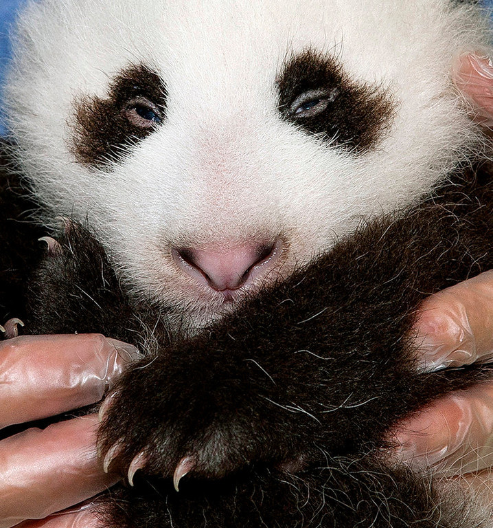 . In this photo provided by the San Diego Zoo showing the panda cub at the San Diego Zoo during his fifth veterinary exam on Friday Sept.20,2012. The male panda, born on July 29, 2012, weighed 4.9 pounds (2.26 kilograms), nearly a pound more than he weighed during the last exam. Veterinarians recorded that the cubís eyes are almost open now and believe the cub can see but is likely limited to viewing light and shadows. The San Diego Zoo follows the Chinese cultural tradition of naming the giant panda after it is 100 days old. (AP Photo/San Diego Zoo/Tammy Spratt)