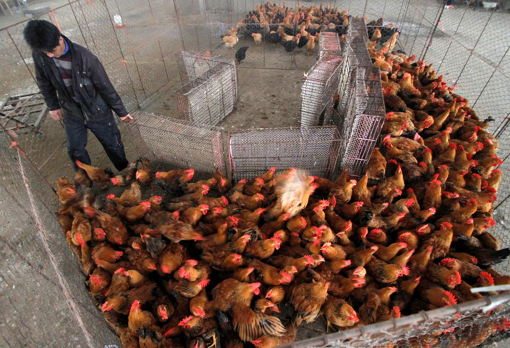 . A vendor packs his chickens at a poultry market in Nanjing, Jiangsu province, April 5, 2013. Health authorities in China said on Saturday that the country\'s 16 confirmed H7N9 bird flu cases were isolated and showed no sign that it is transmitted from human to human, Xinhua News Agency reported. Picture taken April 5, 2013. REUTERS/China Daily