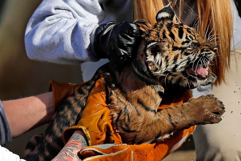 ". A female Sumatran Tiger cub named Sukacita is lifted by biologist Leigh Pitsko (R) after the cub performed her ""swim test\"" in a moat of the Great Cats exhibit at the National Zoo November 6, 2013 in Washington, DC. (Photo by Win McNamee/Getty Images)"
