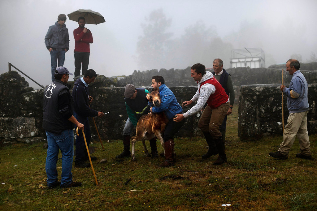 . Men grab a wild colt during the \'Rapa Das Bestas\' tradition in Mougas, northwestern Spain, Sunday, June 9, 2013. Rapa das bestas or Shearing of the Beasts is an ancient tradition dating from the 15th century and consists of gathering the wild horses in the mountains, placing them in a \'curro\' or corral, then shaving and branding them before releasing them in the mountains until next year. (AP Photo/Daniel Ochoa de Olza)