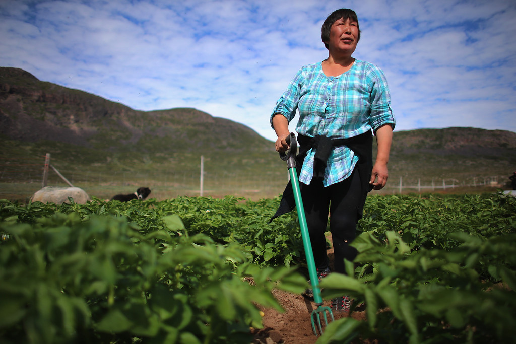 . Arnaq Egede works among the plants in her family\'s potato farm on July 31, 2013 in Qaqortoq, Greenland. The farm, the largest in Greenland, has seen an extended crop growing season due to climate change.  (Photo by Joe Raedle/Getty Images)