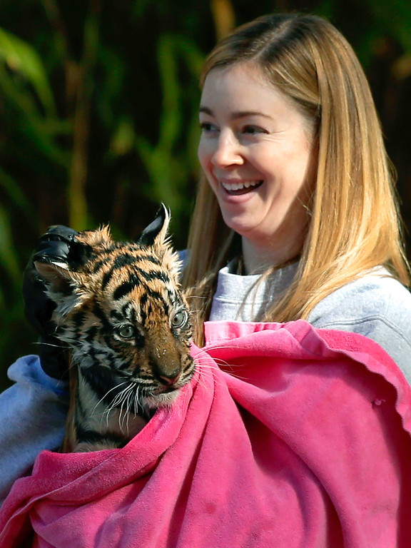 ". A female Sumatran Tiger cub named Sukacita is dried off by biologist Leigh Pitsko after performing the cub performed her ""swim test\"" in a moat of the Great Cats exhibit at the National Zoo November 6, 2013 in Washington, DC.  (Photo by Win McNamee/Getty Images)"