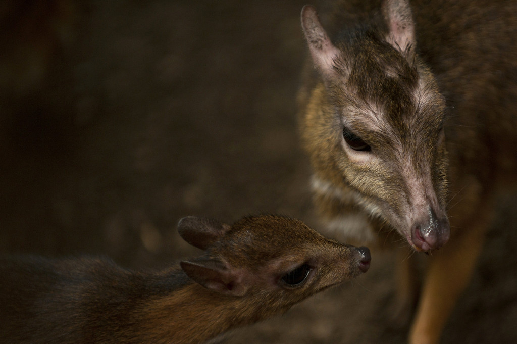 """. A picture taken on April 25, 2014 shows a Java mouse-deer cub, one of the world\'s smallest hoofed animals, and its mother at the Fuengirola Biopark, near Malaga. The latest specimen of the world\'s tiniest deer -- a rare species no bigger than a hamster -- has been born in a nature park in southern Spain, conservationists said today. The baby \""""deer-mouse\"""" became just the 43rd living member of this species in Europe when it was born on April 9.  Jorge Guerrero/AFP/Getty Images"""