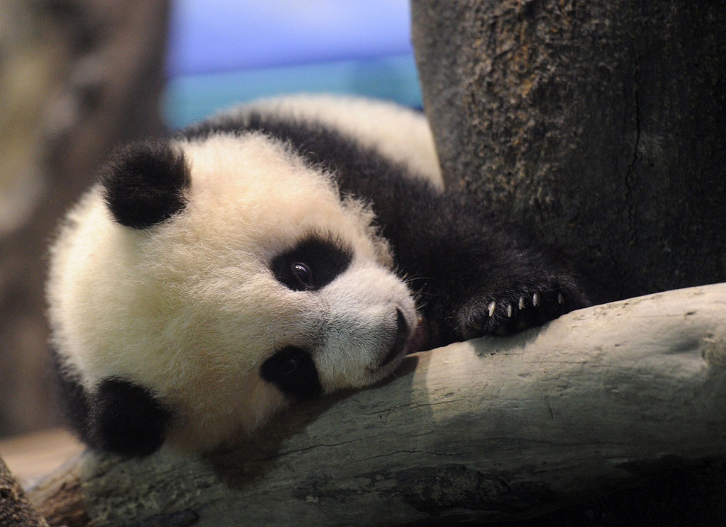. Yuan Zai , the first Taiwan-born baby panda, lies inside an enclosure at the Taipei City Zoo on January 4, 2014. The first Taiwan-born giant panda cub was unveiled to the media on January 4 in a warm up for her highly-anticipated public debut next week.  SAM YEH/AFP/Getty Images