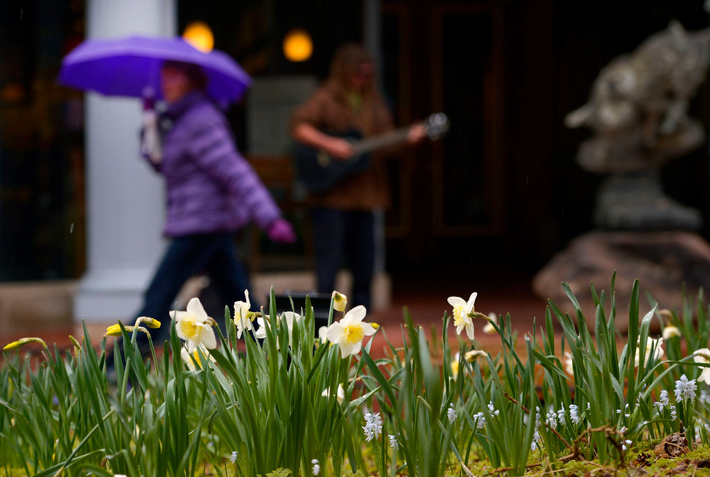 . BOULDER, CO- APRIL 2: Spring daffodils bloom in planters along Pearl street Mall as people walk by  in Boulder, CO with umbrellas protecting them from the snow/rain mix on April 2, 2013.  Up to 6 inches is forecasted for the mountains and a continued rain/snow mix for the metro area.  (Photo By Helen H. Richardson/ The Denver Post)