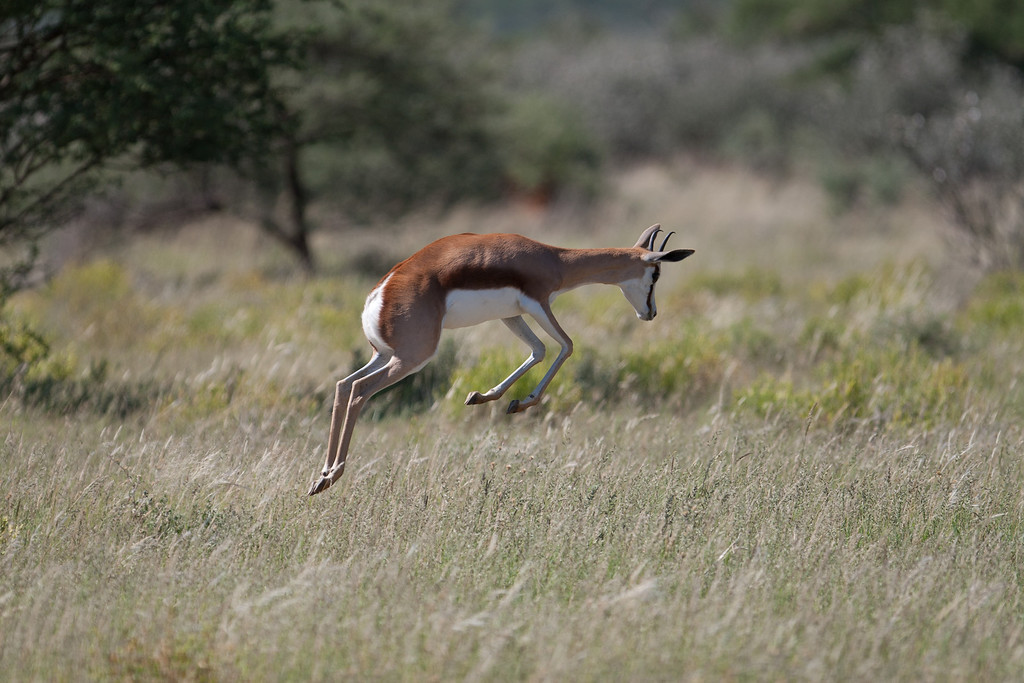 . A springbok, true to its name, springs or �pronks� in an exuberant display. There are many theories as to why springbok behave in this way but none have quite explained it. The Africa crew filmed these elegant creatures seemingly �dancing for joy� in super slow motion following a rare rain shower.   Discovery Channel