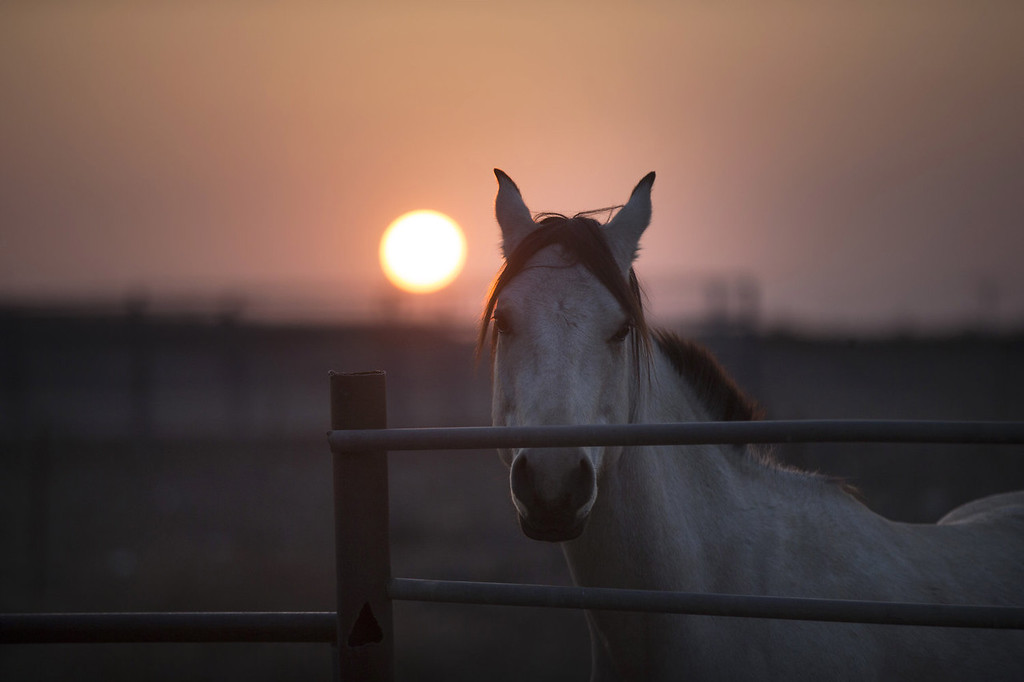 . A horse at dawn in the Merom Golan ranch on November 14, 2013 in the Israeli-annexed Golan Heights. Israeli cowboys have been growing beef cattle in ranches on the Golan Heights disputed strategic volcanic plateau for over 30 years, Land which is also used by the Israeli army as live-fire training zones. The disputed plateau was captured by Israel from the Syrians in the 1967 Six Day War and in 1981 the Jewish state annexed the territory.   (Photo by Uriel Sinai/Getty Images)