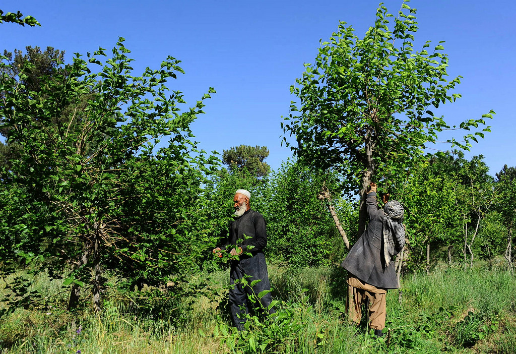 . In this photograph taken on May 13, 2014, Afghan farmers collect fresh mulberry leaves to feed silkworms in Zandajan district of Herat province. AFP PHOTO/Aref  Karimi/AFP/Getty Images