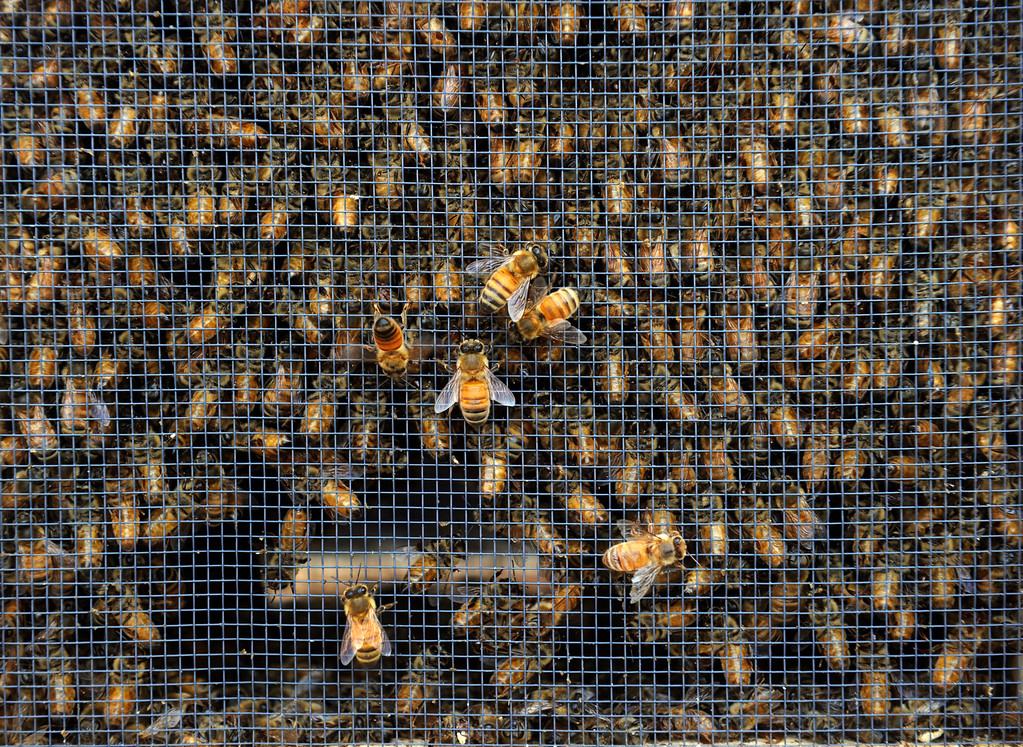 . DENVER, CO - MAY 4: About 300 backyard beekeepers are on hand to pick up their package bees from Apis Hive Co. out of Grand Junction, CO. Each package contains about 10,000 workers and drones as well as one queen. (Photo By Kathryn Scott Osler/The Denver Post)