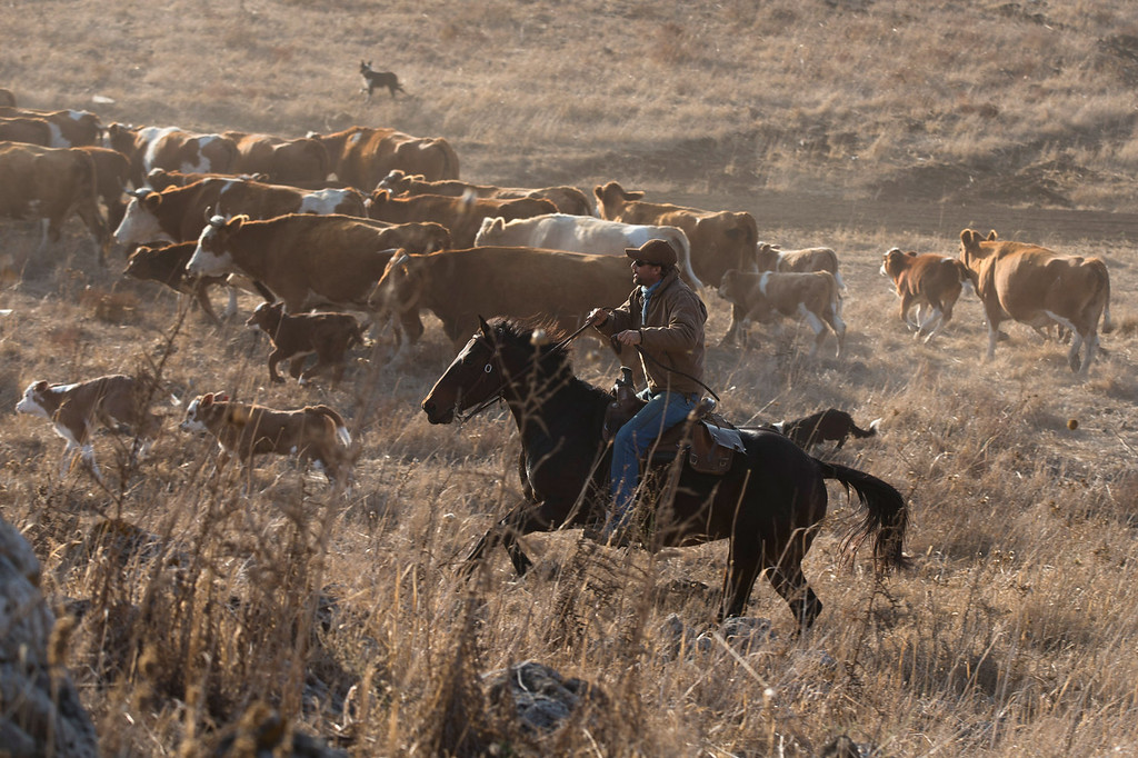 . Israeli cowboy shay zerbib rides his horse as he herds his cattle back to the Merom Golan ranch on November 14, 2013 in the Israeli-annexed Golan Heights. Israeli cowboys have been growing beef cattle in ranches on the Golan Heights disputed strategic volcanic plateau for over 30 years, Land which is also used by the Israeli army as live-fire training zones. The disputed plateau was captured by Israel from the Syrians in the 1967 Six Day War and in 1981 the Jewish state annexed the territory.   (Photo by Uriel Sinai/Getty Images)