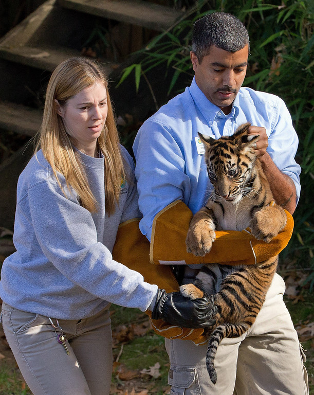". A three-month-old Sumatran tiger cub named ""Bandar\"" is carried toward the tiger exhibit moat by Craig Safoe, right and Leigh Pitsko for a swim reliability test at the National Zoo in Washington, Wednesday, Nov. 6, 2013. (AP Photo/Manuel Balce Ceneta)"