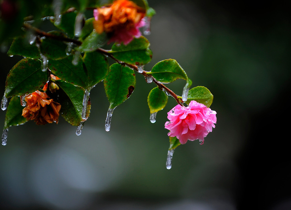 . Icicles hang off a camellia bush in historic Forsyth Park after freezing rain hit the area, Wednesday, Jan. 29, 2014, in Savannah, Ga. A winter storm brought snow, ice and brutal cold to the Deep South, a part of the country more accustomed to hurricanes. (AP Photo/Stephen B. Morton)
