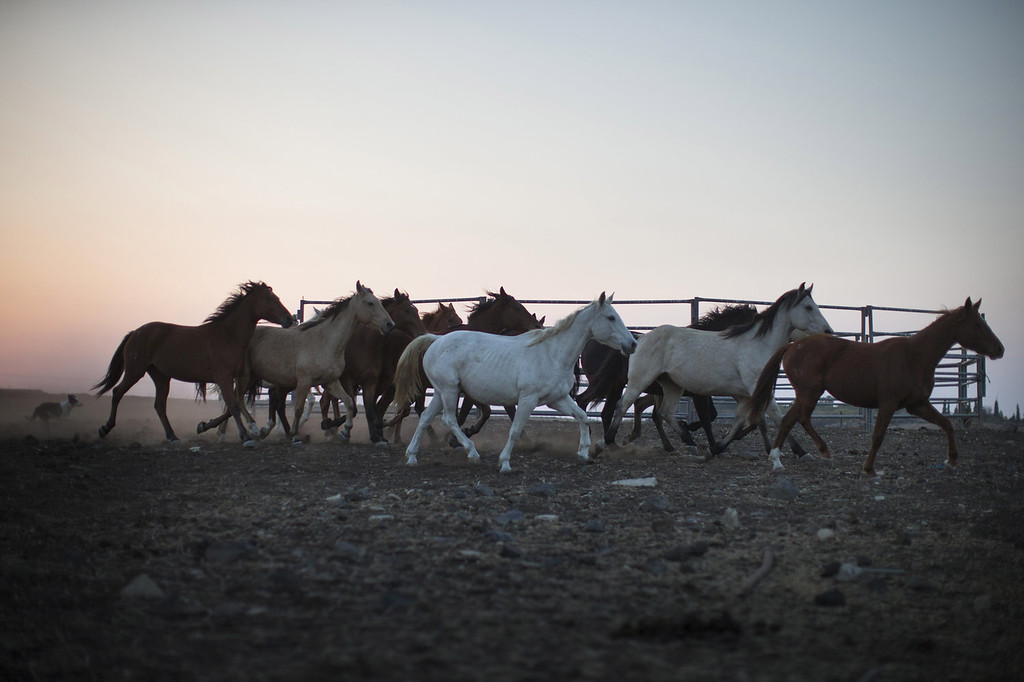 . Horses run at dawn in the Merom Golan ranch on November 14, 2013 in the Israeli-annexed Golan Heights. Israeli cowboys have been growing beef cattle in ranches on the Golan Heights disputed strategic volcanic plateau for over 30 years, Land which is also used by the Israeli army as live-fire training zones. The disputed plateau was captured by Israel from the Syrians in the 1967 Six Day War and in 1981 the Jewish state annexed the territory.   (Photo by Uriel Sinai/Getty Images)
