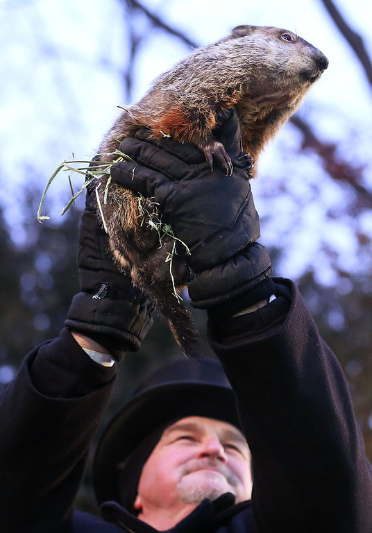 . Groundhog co-handler John Griffiths holds up Punxsutawney Phil after Phil didn\'t see his shadow and predicting an early spring during the 127th Groundhog Day Celebration at Gobbler\'s Knob on February 2, 2013 in Punxsutawney, Pennsylvania. The Punxsutawney \'Inner Circle\' claimed that there were about 35,000 people gathered at the event to watch Phil\'s annual forecast.  (Photo by Alex Wong/Getty Images)