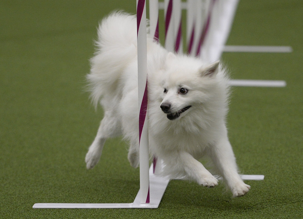 . A dog competes in the Agility Ring during the First-ever Masters Agility Championship on February 8, 2014 in New York at the 138th Annual Westminster Kennel Club Dog Show. Dogs entered in the Agility trial will be on hand to demonstrate skills required to negotiate some of the challenging obstacles that they will need to negotiate.     TIMOTHY A. CLARY/AFP/Getty Images
