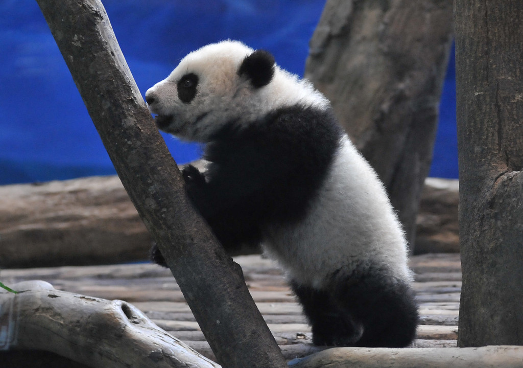 . Yuan Zai , the first Taiwan-born baby panda, climbs inside its enclosure at the Taipei City Zoo on January 6, 2014.  Yuan Zai, who weighed 180 grams (6.35 ounces) at birth, now weighs about 14 kilos (31 lbs) and make made her anticipated public debut as she turned six months old.      Mandy Cheng/AFP/Getty Images