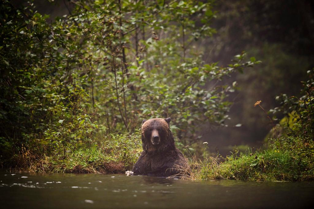 . A bear is seen in Khutze Inlet near Princess Royal Island, B.C. on Sept, 19, 2013.  (AP Photo/The Canadian Press, Jonathan Hayward)