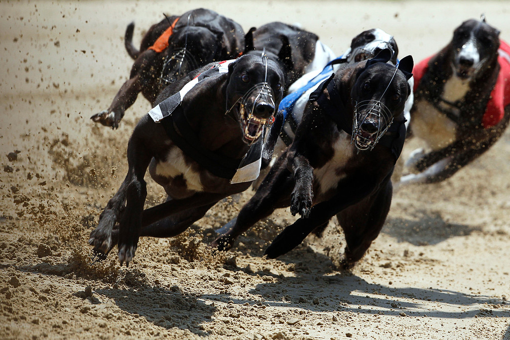 . Lavally Sunrise (L) edges past the competition on a curve during a daytime race at Romford greyhound track in Essex June 4, 2011. In 1947, 60,000 spectators were recorded at the Derby at White City, one of 21 greyhound tracks then operating in London. In 2011 the Derby was held at Wimbledon Stadium ó now the only dog track left in London�ó and attendance was just 2,423. Picture taken June 4, 2011. REUTERS/Chris Helgren