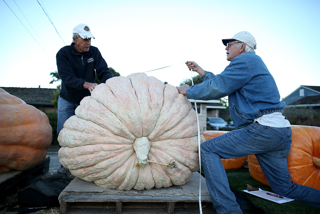 . Contest officials measure a giant pumpkin during the 40th Annual Safeway World Championship Pumpkin Weigh-Off on October 14, 2013 in Half Moon Bay, California.  (Photo by Justin Sullivan/Getty Images)