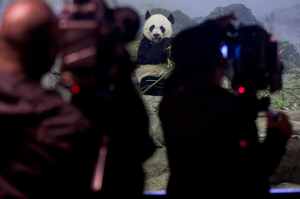 . News photographers photograph Mei Xiang, the mother of Bao Bao, the four and a half month old giant panda, as she eats bamboo at an indoor habitat at the National Zoo in Washington, Monday, Jan. 6, 2014. Bao Bao, who now weighs 16.9 pounds (7.65 kilograms), was born to the zoo\'s female giant panda Mei Xiang and male giant panda Tian Tian. (AP Photo/Charles Dharapak)