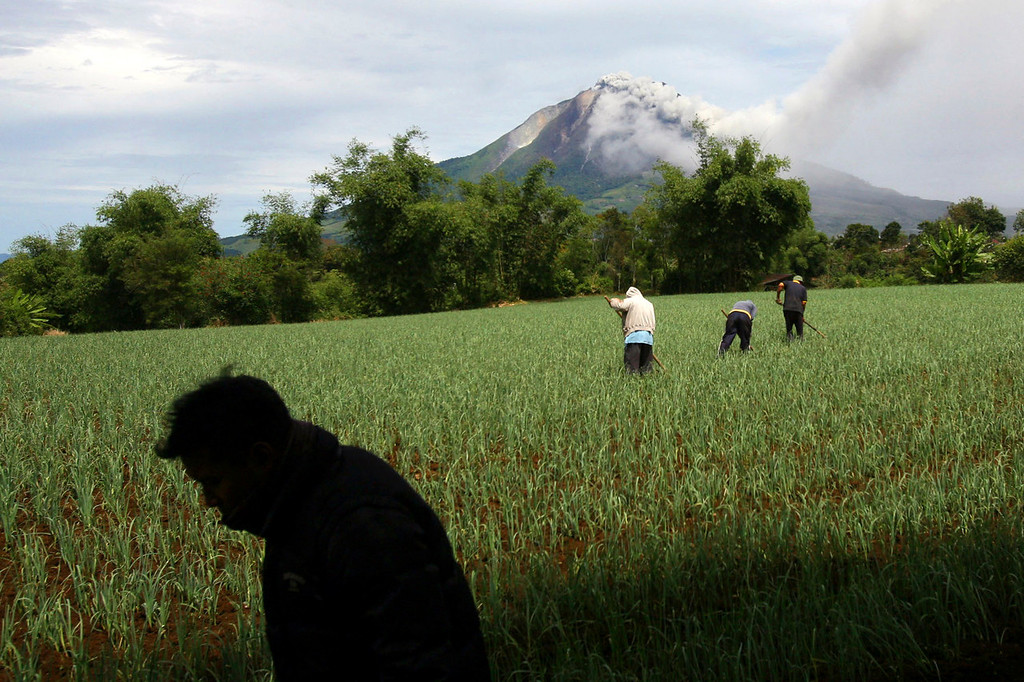 . Villagers work on a rice field as Mount Sinabung spews volcanic materials in Karo, North Sumatra, Indonesia, Sunday, Sept. 15, 2013. Thousands of people fled their homes after the volcano erupted early Sunday.   (AP Photo/Binsar Bakkara)