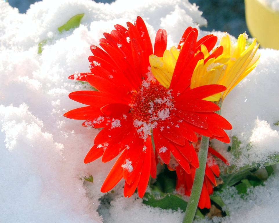 ". ""Shivering Gerbera\"" - JulieAnn Watterson of Morrison loves �the happiness of gerberas. They made the joy of a surprise snow that much more exciting.�  Photo by  JulieAnn Watterson"