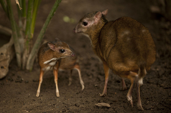 PHOTOS: Java mouse-deer, the world's tiniest (and cutest) deer