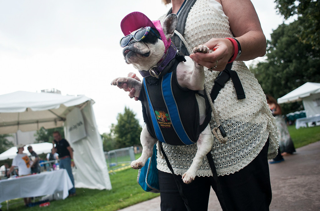 . Marleen Puzak walks with her deaf french bulldog Beignet while visiting Woof Fest! in downtown Denver, Colorado, Sunday, August 17, 2014. The free festival included two music stages, food trucks, and space for pets and their owners to play. ((Photo By Brenden Neville/Special to The Denver Post))