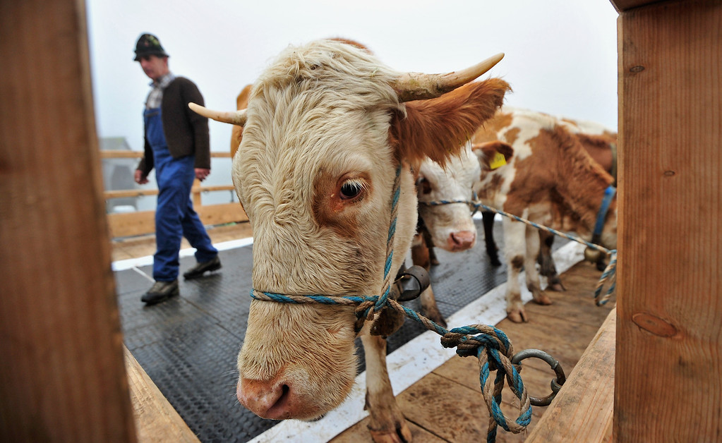 . SCHOENAU AM KOENIGSSEE, GERMANY - OCTOBER 05:  Cows stand on a boat that carries them across Koenigssee Lake during the traditional cattle drive (in German: Almabtrieb, or Viehscheid) on October 5, 2013 near Schoenau am Koenigssee, Germany. Every fall herders across the European alpine regions return cattle that spent the summer on alpine meadows to farmers in the valley villages. Many villages celebrate the return with folk dancing and other customs and adorn the lead animal with a garland if all of the animals survived the summer.  (Photo by Lennart Preiss/Getty Images)