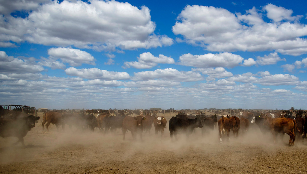 . Cattle are corralled near the town of Berabevu, in Santa Fe province, Argentina on Sept. 25, 2013. As Argentine ranchers turn to higher-profit soybeans, formerly grass-fed cattle are fattened on corn and soy meal in feedlots. Argentina\'s entire soy crop and nearly all its corn have become genetically modified in the 17 years since St. Louis-based Monsanto Company promised huge yields with fewer pesticides using its patented seeds and chemicals. Soy cultivation alone has tripled to 47 million acres, transforming a nation once known for its grass-fed cattle into the world\'s third largest soybean producer. (AP Photo/Natacha Pisarenko)