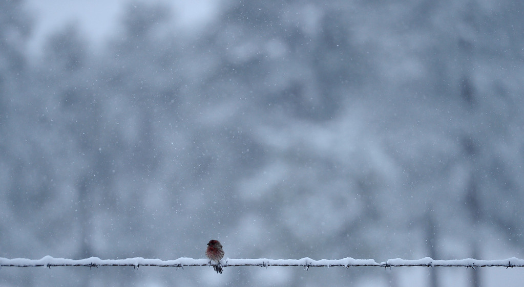 . GENESEE, CO - OCTOBER 04: A fall snow storm hits Colorado as a bird rest on a snow covered fence near Geness, October 04, 2013. The mountain could see up to a foot of snow from this storm. (Photo By RJ Sangosti/The Denver Post)