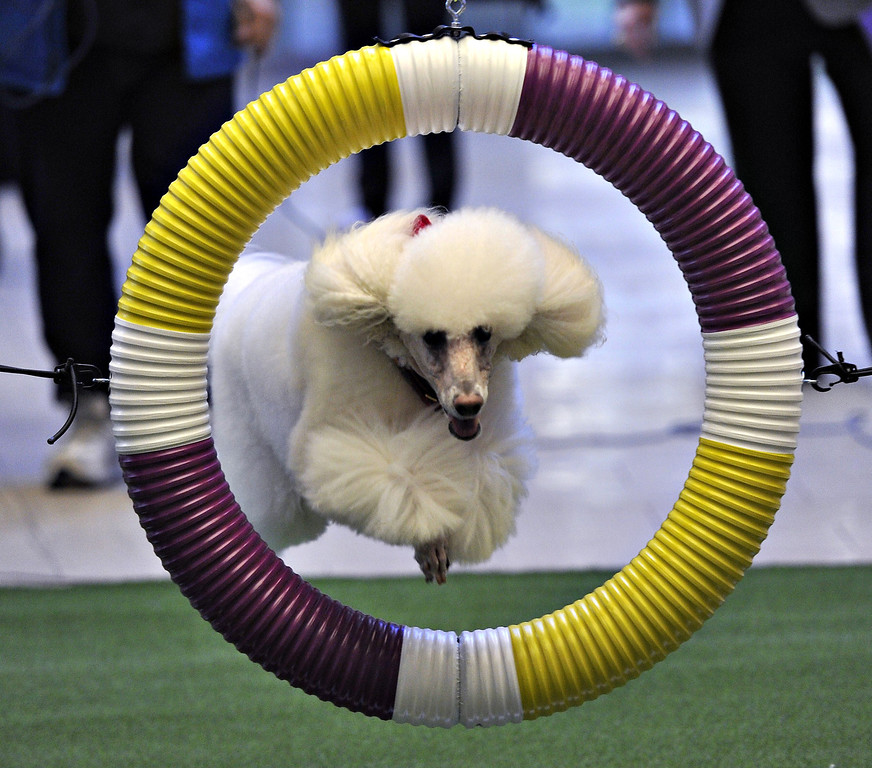 . A Poodle runs an obstacle course during a press event at Madison Square Garden  January 15, 2014 to  promote the First-ever Masters Agility Championship at the 138th Annual Westminster Kennel Club Dog Show.    TIMOTHY CLARY/AFP/Getty Images