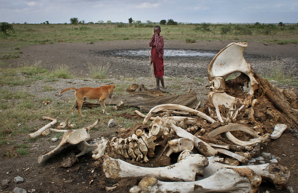 . In this Wednesday, Feb. 13, 2013 photo, a Maasai boy and his dog stand near the skeleton of an elephant killed by poachers outside of Arusha, Tanzania. (AP Photo/Jason Straziuso)