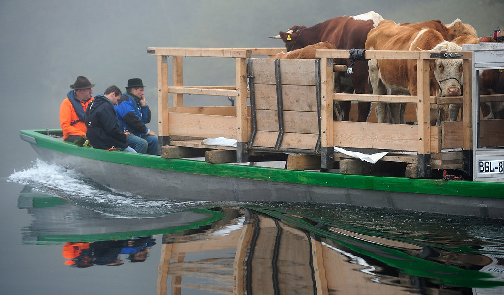 . SCHOENAU AM KOENIGSSEE, GERMANY - OCTOBER 05:  A boat ferrying cattle floats across Koenigssee Lake in Bavaria  during the traditional cattle drive (in German: Almabtrieb, or Viehscheid) on October 5, 2013 near Schoenau am Koenigssee, Germany. Every fall herders across the European alpine regions return cattle that spent the summer on alpine meadows to farmers in the valley villages. Many villages celebrate the return with folk dancing and other customs and adorn the lead animal with a garland if all of the animals survived the summer.  (Photo by Lennart Preiss/Getty Images)