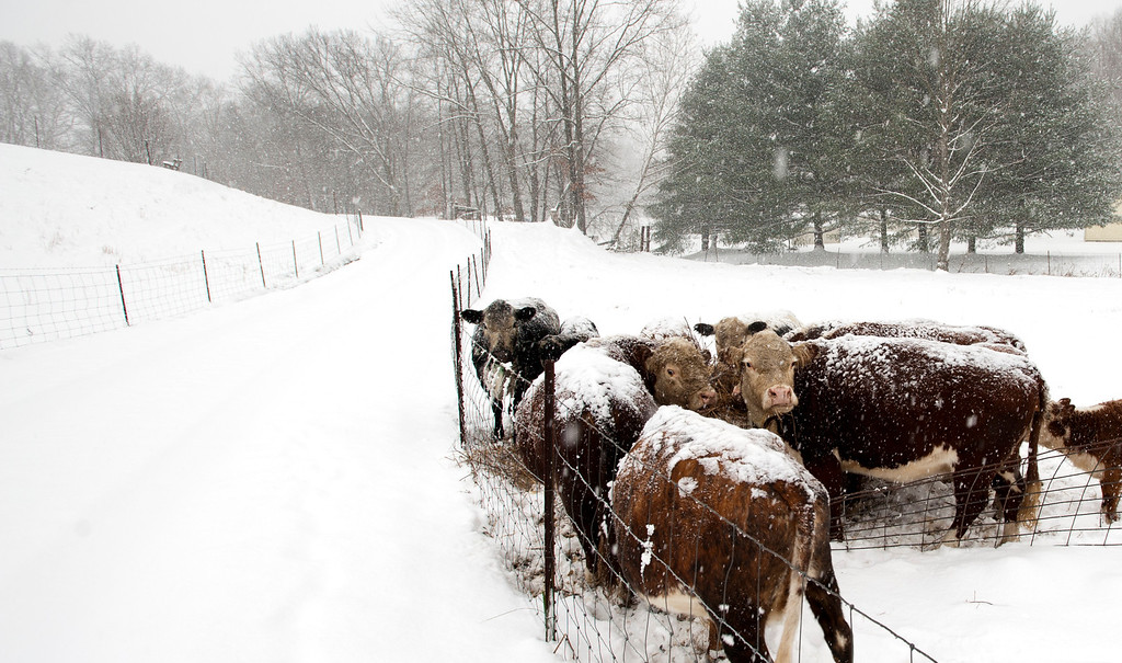 . A small herd of cows graze in Brown County near Nashville, Ind. during a snowstorm Friday, Dec. 6, 2013.  The National Weather Service has issued a winter storm warning and is predicting about 10 inches of snow by midnight Friday. (AP Photo, Bloomington Herald-Times, David Snodgress)