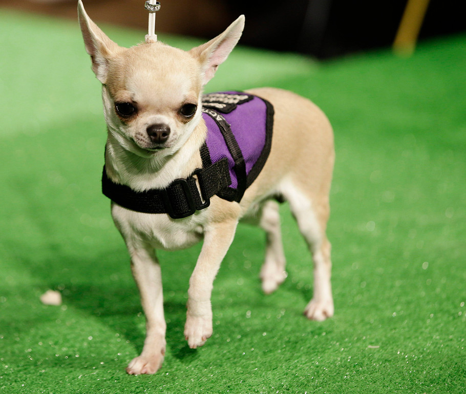 . Mia, a Chihuahua, is shown during a press conference to announce the 137th Annual Westminster Kennel Club dog show Thursday, Feb. 7, 2013, in New York. (AP Photo/Frank Franklin II)