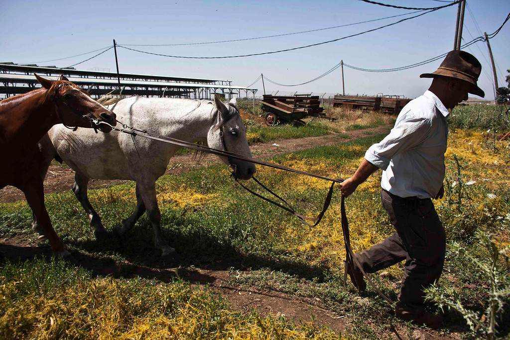 . Nadav, the chief cowboy of the Yonatan herd, takes his horses back to their stalls after working with cattle on a ranch just outside Moshav Yonatan, a collective farming community, about 2 km (1 mile) south of the ceasefire line between Israel and Syria on the Golan Heights May 21, 2013.  REUTERS/Nir Elias