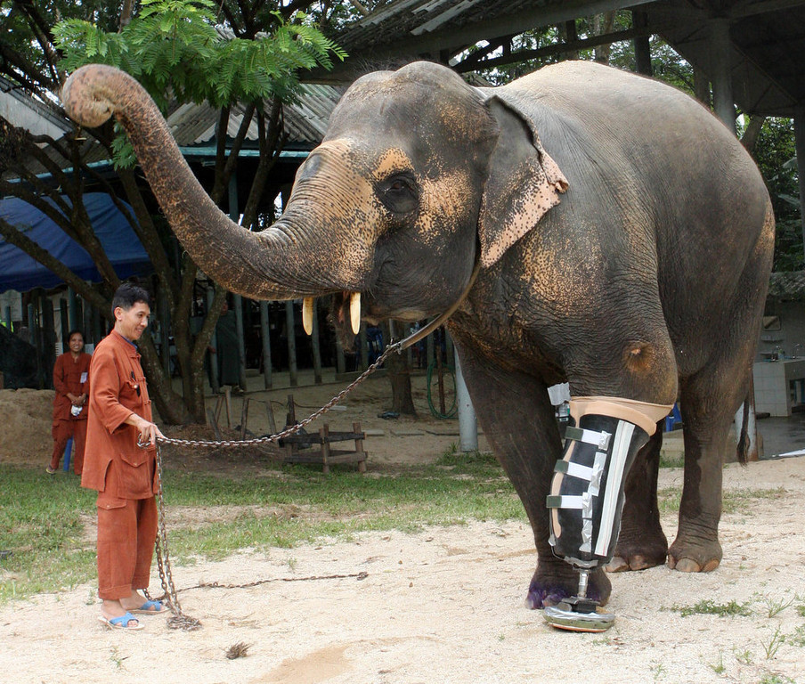 . A 48-year-old female elephant named Motala walks on her newly attached prosthetic leg at the Elephant Hospital in Lampang province, north of Bangkok on August 16, 2009. Motala\'s front left leg was maimed after she stepped on a land mine at the Myanmar-Thai border 10 years ago. REUTERS/Phichaiyong Mayerku