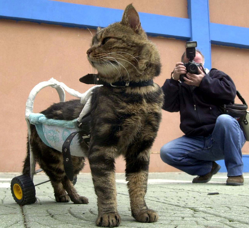 ". A seven-year-old disabled cat named Cici is helped to walk by a device as she participates in ""Cat Show 2002\"" in the western Turkish city of Izmir on December 29, 2002. Cici, named \"" Pet of Day\"" in the show, was disabled in a traffic accident two months ago.  REUTERS"