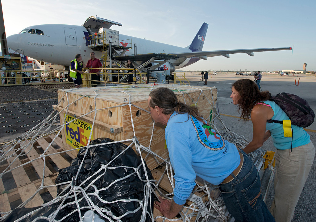 . In this photo provided by the Florida Keys News Bureau, Richie Moretti, left, and Bette Zirkelbach of the Florida Keys-based Turtle Hospital check on OD, a green sea turtle, just before it is loaded on a FedEx A-300 aircraft Thursday, July 25, 2013,  in Fort Lauderdale, Fla. Because the turtle cannot be released due to an irreparable collapsed lung, the turtle is being flown to Las Vegas to live out its life at The Shark Reef Aquarium at Mandalay Resort and Casino. (AP Photo/Florida Keys News Bureau, Andy Newman)
