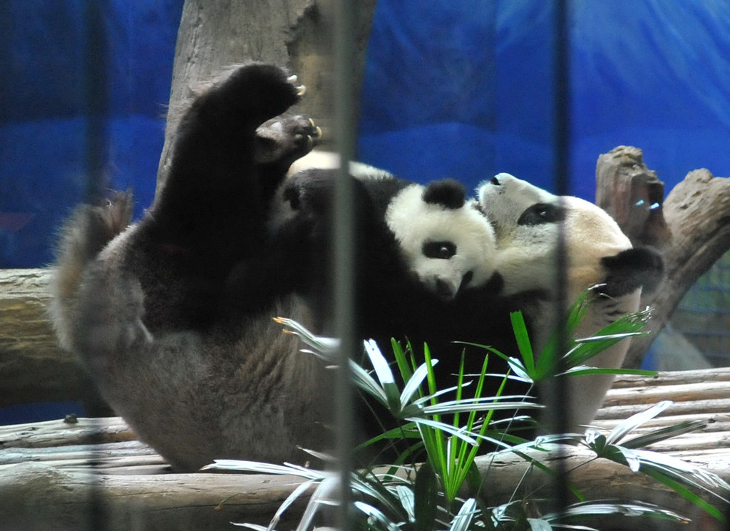 . Yuan Zai (top) , the first Taiwan-born baby panda, hugs her mother Yuan Yuan inside an enclosure at the Taipei City Zoo on January 6, 2014. Yuan Zai, who weighed 180 grams (6.35 ounces) at birth, now weighs about 14 kilos (31 lbs) and make made her anticipated public debut as she turned six months old.   Mandy Cheng/AFP/Getty Images