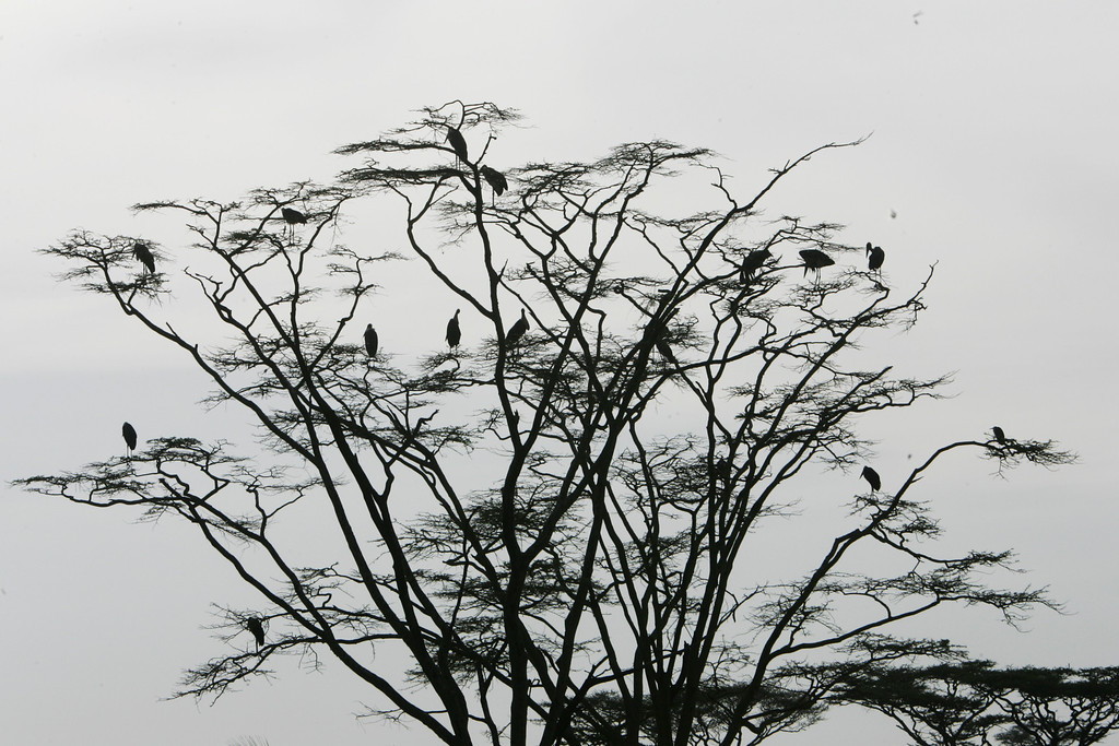 . Marabou Storks perch in a tree near a small lake in Serengeti National Park, Tanzania, Africa.