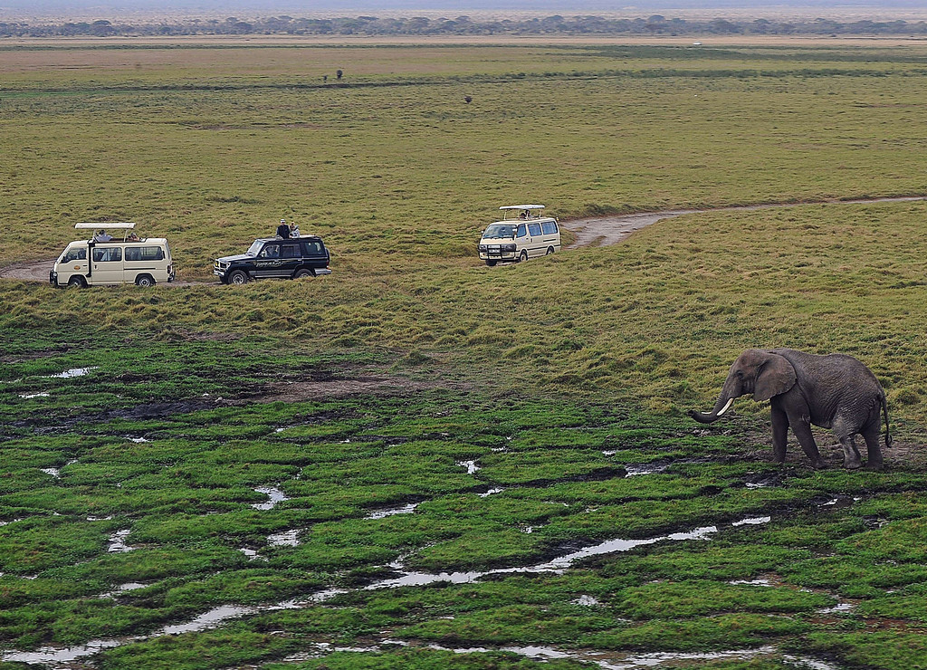 . An elephant grazes in a marsh on October 8, 2013 at Amboseli National Park, approximately 220 kms southeast of Nairobi. Kenyan and Tanzanian governments started on October 7 a joint aerial count of elephants and other large mammals in the shared ecosystem of the Amboseli-West Kilimanjaro and Natron- Magadi landscape. The one-week exercise, cost 104,000 US dollars, is a collaboration between the two countries and the Kenya  Wildlife Service (KWS), Tanzania Wildlife Research Institute (TAWIRI) and the African Wildlife Foundation (AWF) among others. TONY KARUMBA/AFP/Getty Images