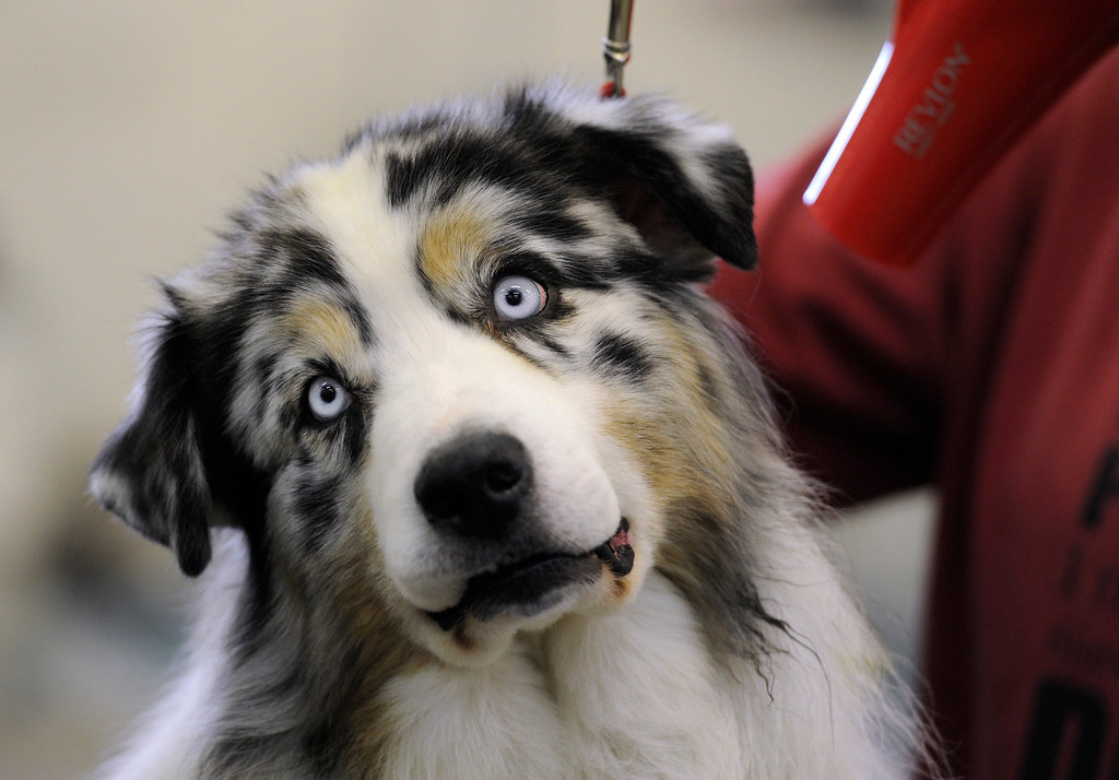 ". DENVER, CO. - FEBRUARY 15: ""Adoma\"", a Australian shepherd from Fort Collins gets ready to show. The 18th annual Rocky Mountain Cluster Dog Show begins at the National Western Complex with over 150 different breeds showing. The dogs can be seen in conformation, obedience, and agility competitions which has dogs running through tunnels, and leaping over jumps. The show runs through Feb. 18 and is open to the public. (Photo By Kathryn Scott Osler/The Denver Post)"