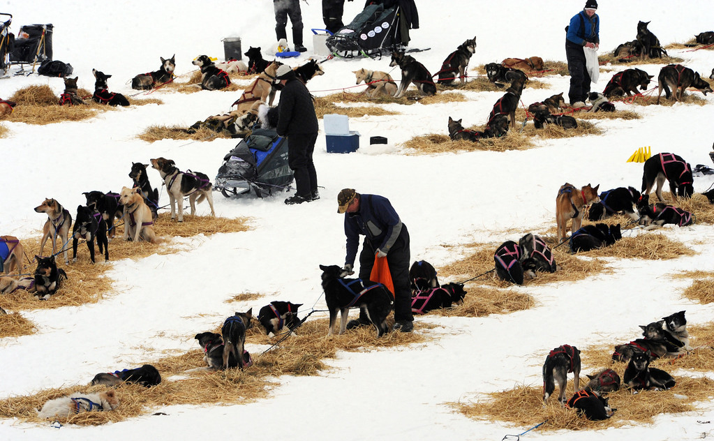 . Musher Sonny Lindner snacks his dogs at the Finger Lake checkpoint in Alaska during the Iditarod Trail Sled Dog Race on Monday, March 4, 2013. (AP Photo/The Anchorage Daily News, Bill Roth)