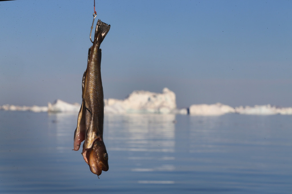 . A fish hangs from a fisherman\'s hook on July 22, 2013 in Ilulissat, Greenland.    (Photo by Joe Raedle/Getty Images)