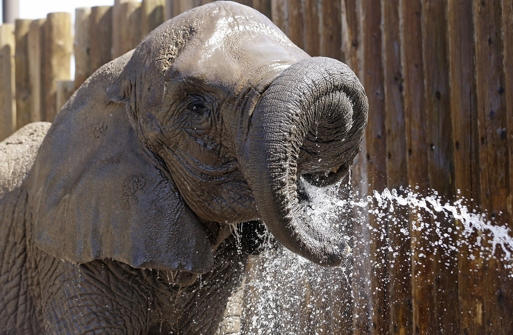 . Elephants at Utah\'s Hogle Zoo are cooled off with a water hose Friday, June 28, 2013, in Salt Lake City. The heat wave that is gripping the western United States is one of the worst in years, with desert locations in the Southwest seeing temperatures approach 120 degrees. (AP Photo/Rick Bowmer)