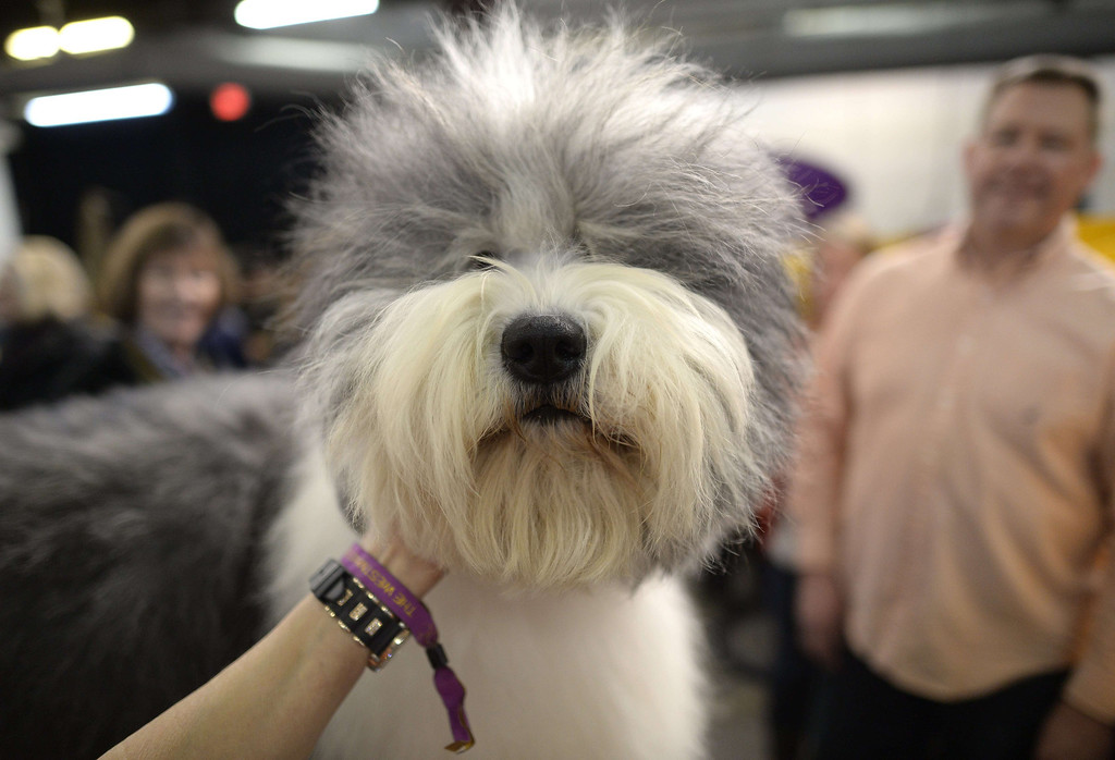. An Old English Sheepdog  in the benching area at Pier 92 and 94 in New York City  for the first day of competition  at the 138th Annual Westminster Kennel Club Dog Show February 10, 2014. The Westminster Kennel Club Dog Show is a two-day, all-breed benched  show that takes place at both Pier 92 and 94 and at Madison Square Garden in New York City .    TIMOTHY CLARY/AFP/Getty Images